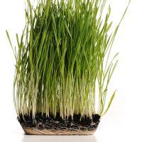 GreengrassplantwithitsrootsinmouldisolatedJasminMerdan-Fotoliacom